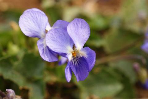 La violette, fleur de printemps.