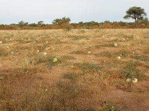 Un champ de pastèque