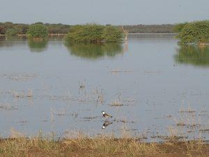 L'eau du Fleuve avec un vanneau éperonné au premier plan