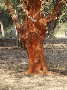 Acacia seyal Del.