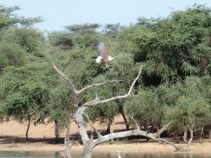 Le Pygargue vocifer ou Aigle pêcheur d'Afrique
