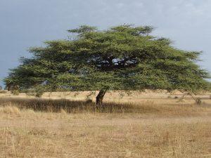 Acacia tortilis (Forssk.) Hayne subsp. raddiana (Savi) Brenan