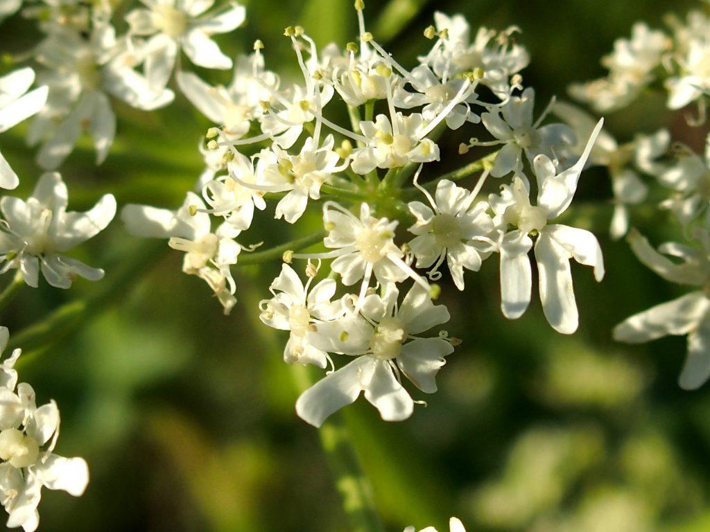 Heracleum sphondylium subsp. alpinum (L.) Bonnier & Layens, la berce du jura, une bonne comestible