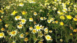 Le chrysanthème couronné.
