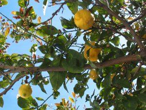 Les citronniers cueillies de l'arbre à la bouche, une saveur succulente loin des citrons de nos étalages