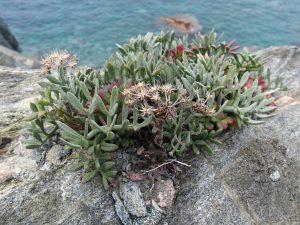 La Criste marine, ou le Fenouil marin, une bonne comestible de la côte rocheuse