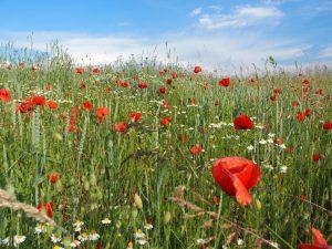 Marche nature et santé : les messicoles et les champs de blé, de la graine à l'assiette @ Restaurant la terre aux fées  | Engollon | Neuchâtel | Suisse