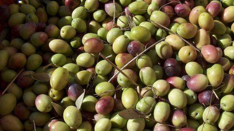 Péril sur l'olive