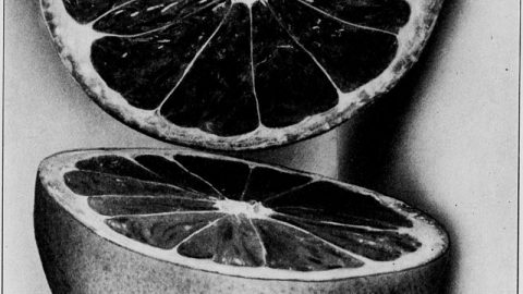 Spécial Covid-19 : Le pépin de pamplemousse, un désinfectant pour limiter la contagion?