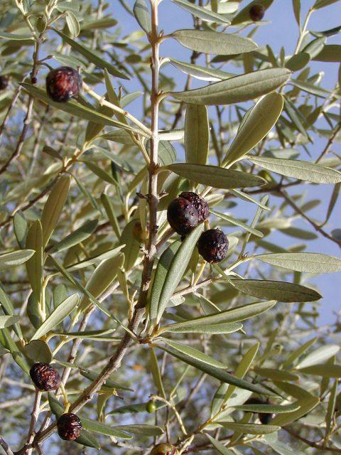 Spécial Covid-19, l'extrait d'olivier : une solution contre les problème métaboliques ?
