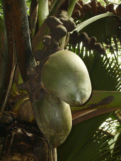 Noix de coco: laissez-la sous les tropiques