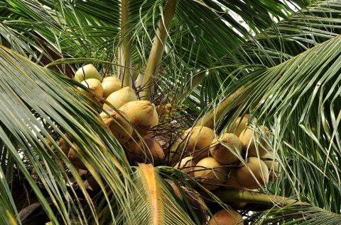 La coco mérite-t-elle vraiment sa réputation?