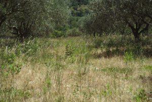 Les oliveraies