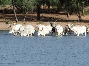 L'arrivée des zébus dans le lac