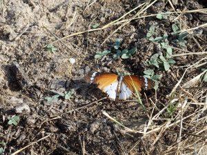Danaus chrysippus L. Le monarque africain
