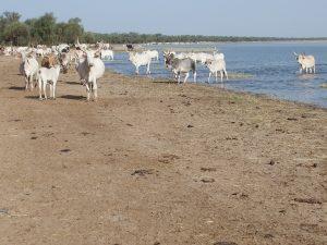 Des centaines de bovins s'abreuvent en début de matinée