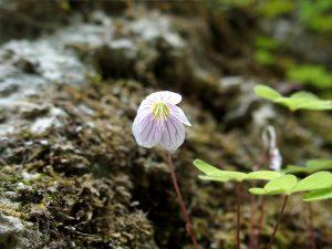 L'oseille des bois, Oxalis acetosella. L., une espèce de la hétraie de l'étage moyen inférieur, comestible à la saveur acidulé et à consommer avec prudence.